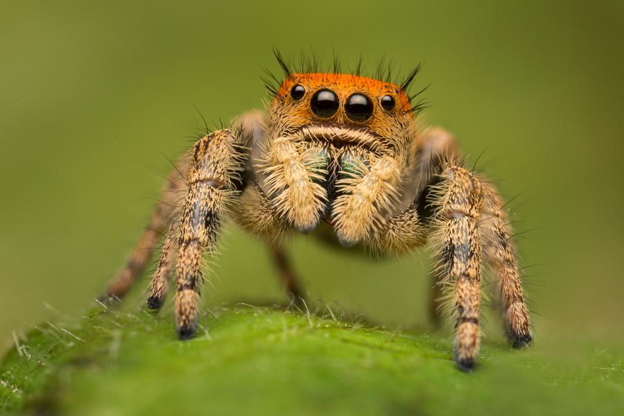 phidippus apacheanus, salticidae, jumping spider, arizona, photo
