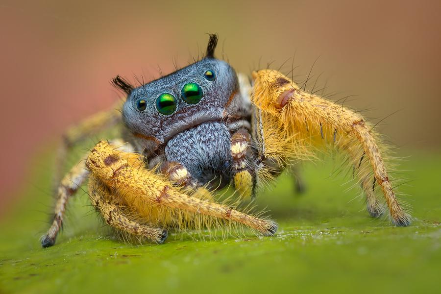 phidippus arizonensis, salticidae, phidippus, jumping spider, photo
