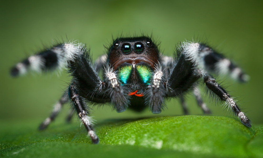 phiddipus audax, bold jumper, spider, jumping spider, salticidae, massachusetts, , photo
