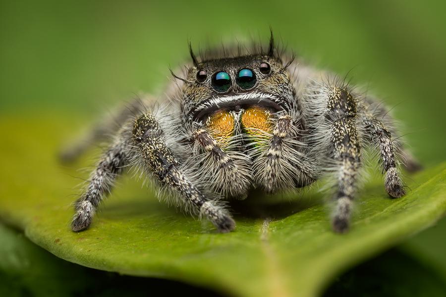 phidippus audax, salticidae, jumping spider, photo