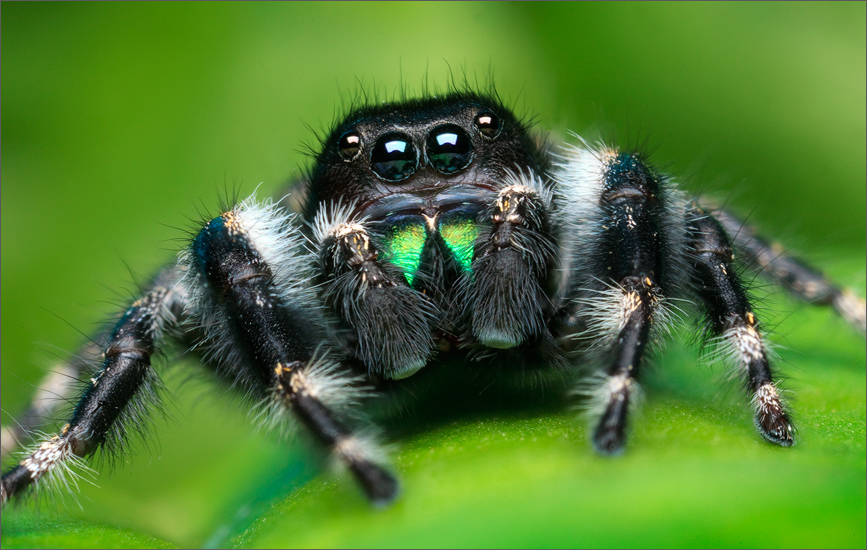 phidippus, audax, bryantae, jumping spider, spider, salticidae, massachusetts, photo