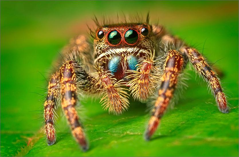 spider, jumping spider, arachnida, salticidae, insect, bold jumper, phidippus audax