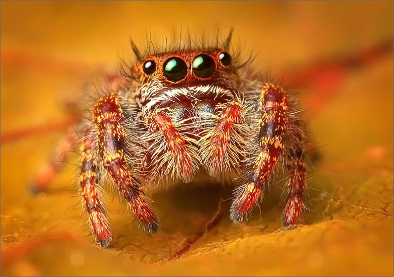 spider, jumping spider, arachnida, salticidae, insect, phidippus audax