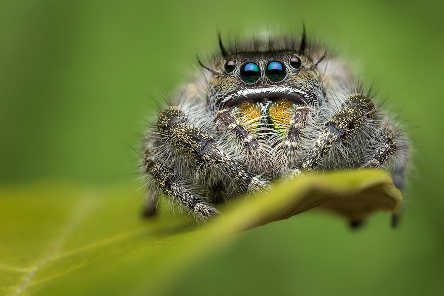 phidippus audax, phidippus, jumping spider, salticidae, photo