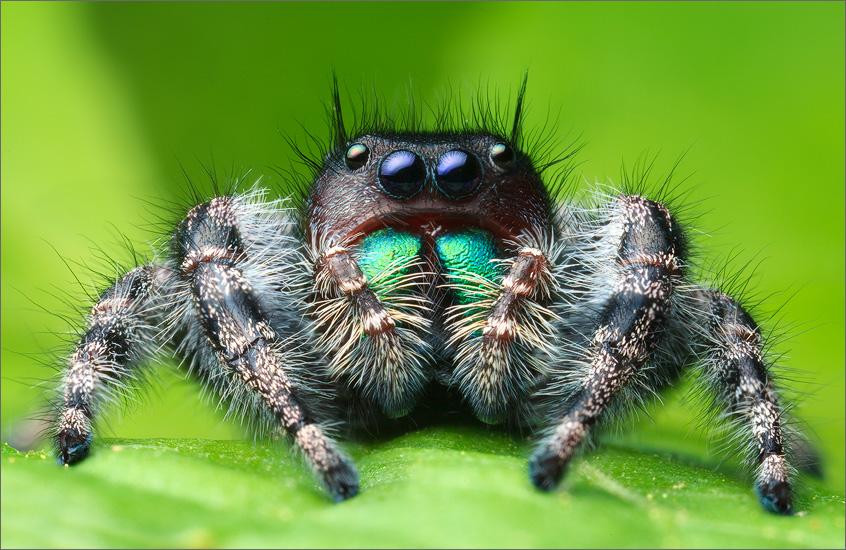 jumping spider, spider, arachnida, salticidae, insect, phidippus audax, photo