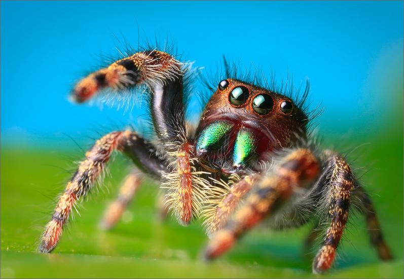 jumping spider, spider, arachnida, salticidae, insect, phidippus audax