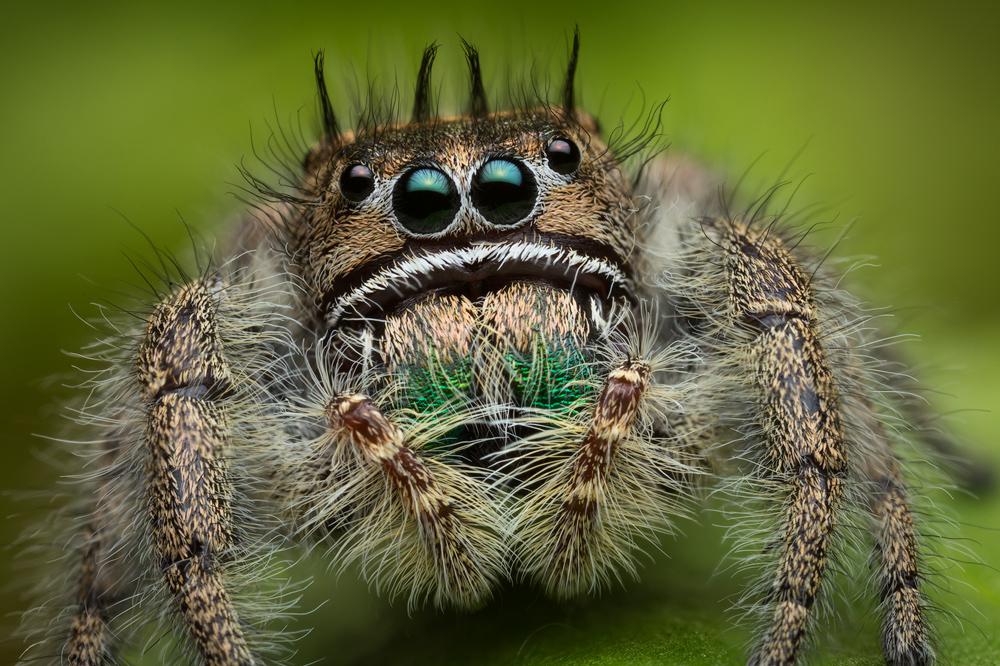 phidippus bidentatus, salticidae, jumping spider, belize