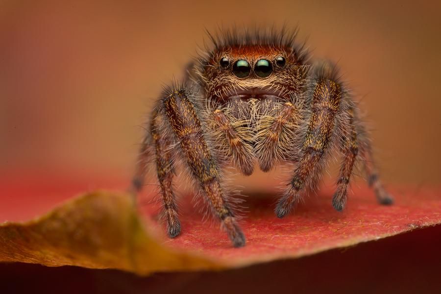 jumping spider, phidippus, salticidae, macro, patrick zephyr, spider, arachnid, phidippus cardinalis