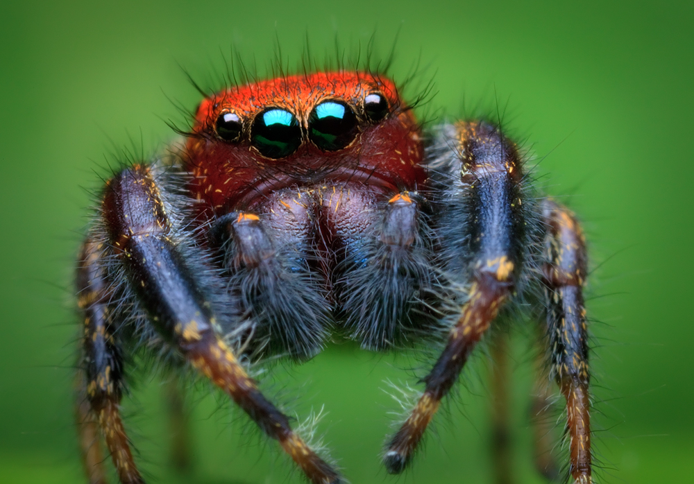 jumping spider, spider, salticidae, arachnid, cardinal jumper, phidippus cardinalis, male, red, red spider, massachusetts, macrophotography, macro, photo