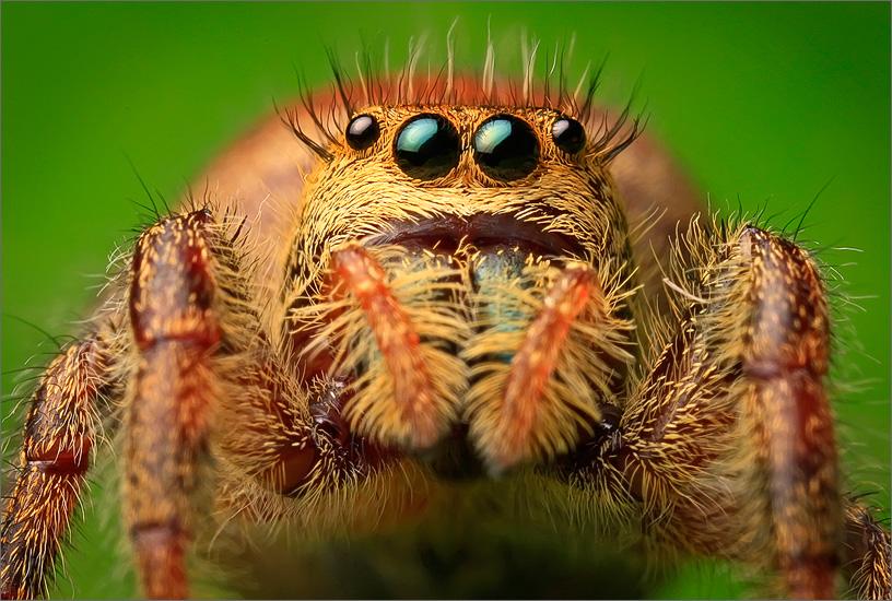 spider, jumping spider, arachnida, salticidae, insect, phidippus clarus