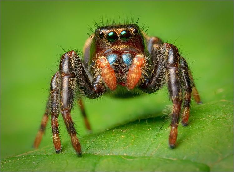 spider, jumping spider, arachnida, salticidae, insect, phidippus clarus, photo