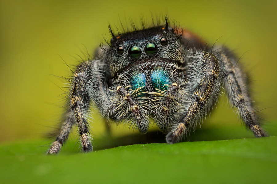 phidippus johnsoni, salticidae, jumping spider,
