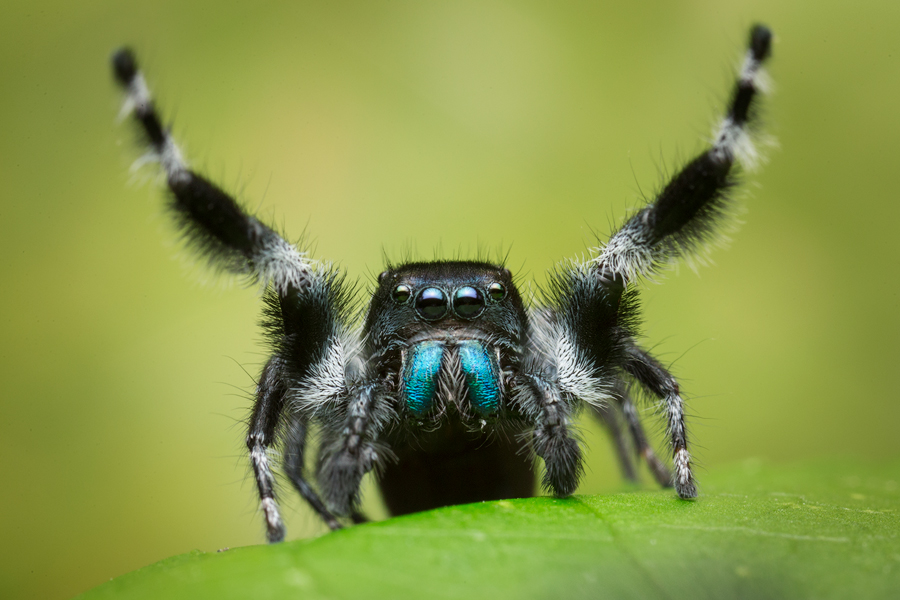 phidippus johnsoni, salticidae, jumping spider, patrick zephyr, macro photography, photo