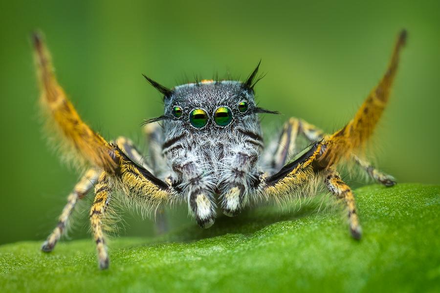 phidippus mystaceus, phidippus, jumping spider, eyeslash jumping spider, salticidae, , photo