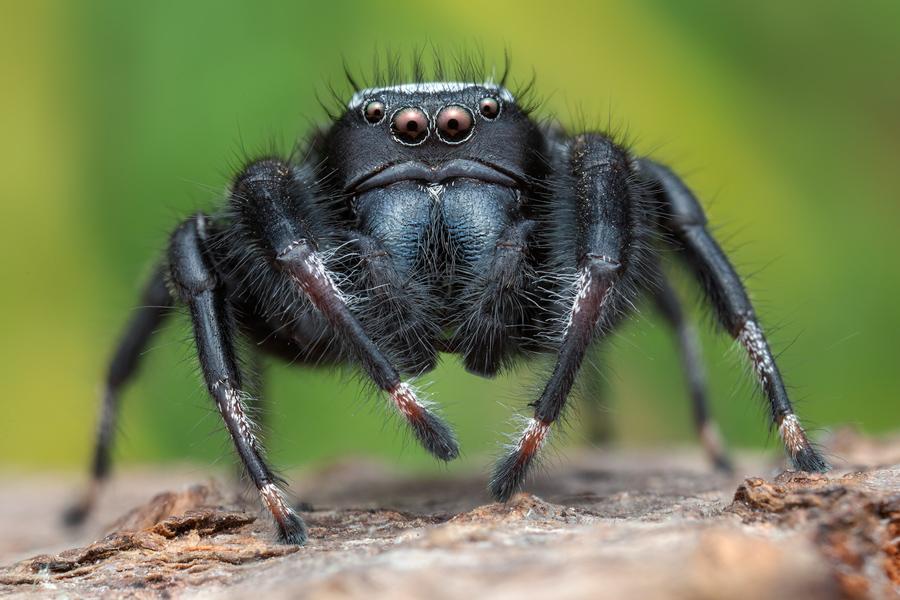 phidippus octopuntatus, phidippus, jumping spider, salticidae, photo