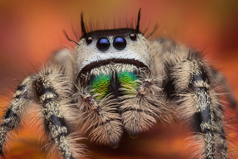 A close relative of Phidippus regius that is arboreal.