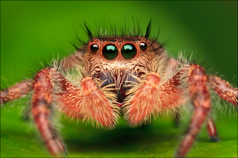 phidippus princeps, jumping spider, spider, salticidae