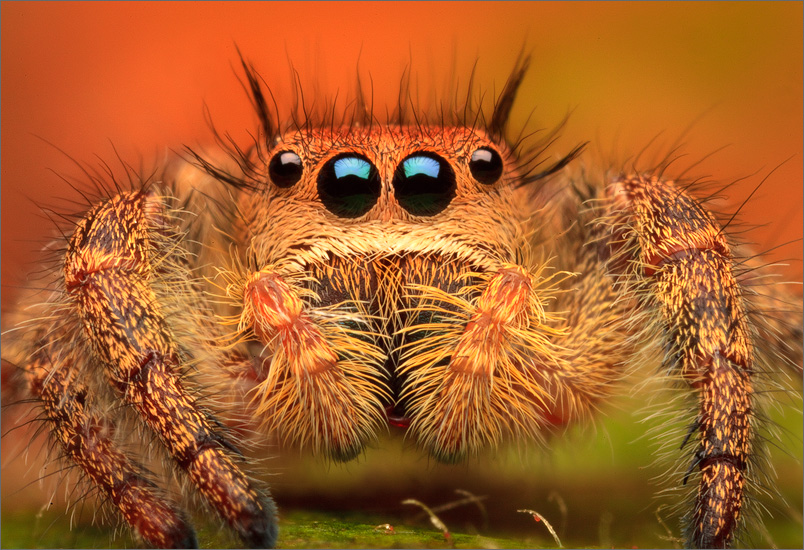 phidippus princeps, phidippus, salticidae, jumping spider, spider, distinguished jumper, massachusetts, , photo