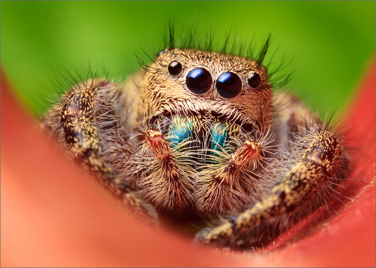 jumping spider, phiddipus princeps, insect, salticidae, photo