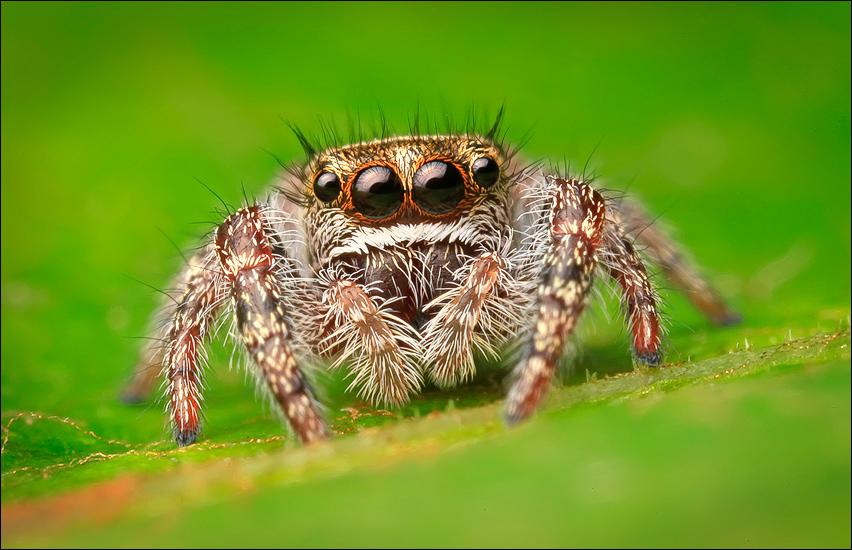 spider, jumping spider, arachnida, salticidae, insect, phidippus purpuratus