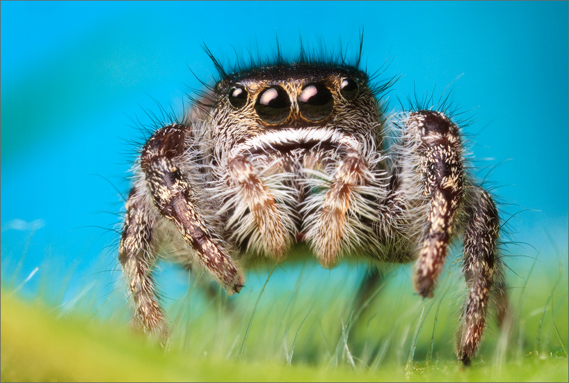I have yet to find any adults of this amazing phidippus. I have however, found a few locations that seem to have healthy populations...