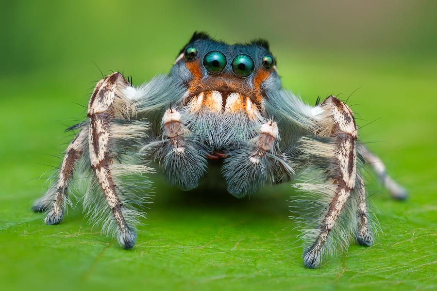 phidippus putnami, salticidae, jumping spider, phidippus, , photo