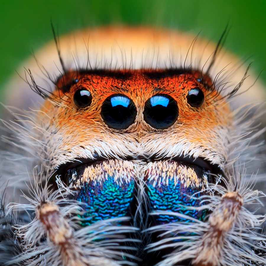 Phidippus regius (adult female)Another beautiful huge jumper from Florida. She's the first P regius I ever saw and had the opportunity...