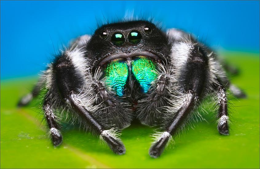 phidippus-regius, florida, regal jumper, jumping spider, spider, male, photo