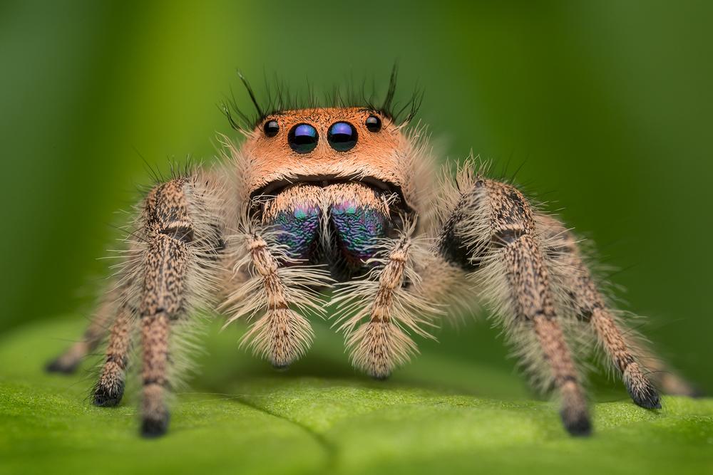 jumping spider, phidippus, salticidae, macro, patrick zephyr, spider, arachnid, phidippus regius