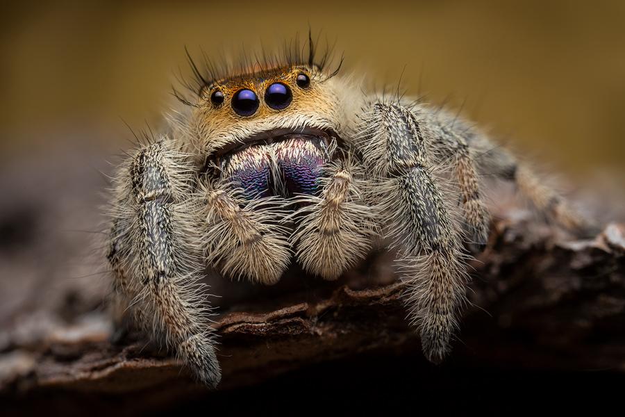 Phidippus regius, salticidae, jumping spider, regal jumper, Florida