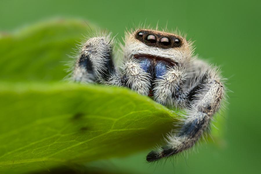 phidippus tux, salticidae, jumping spider, photo