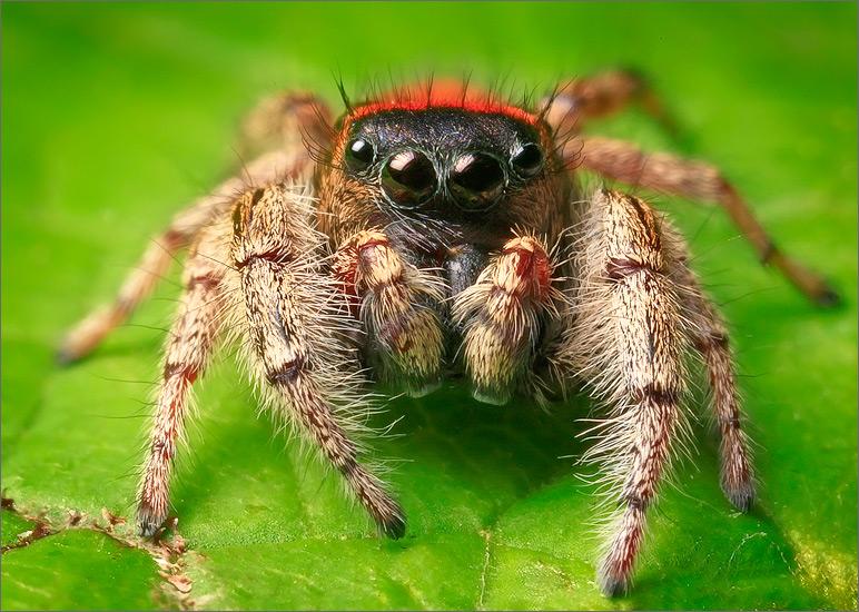 spider, jumping spider, arachnida, salticidae, insect, phidippus whitmani, photo