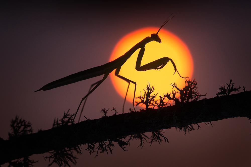 praying mantis,silhouette, cape cod, massachusetts, mantid, patrick zephyr, insect, sunrise, dawn, photo