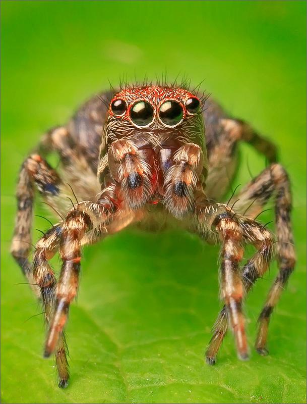 spider, jumping spider, arachnida, salticidae, insect, , photo
