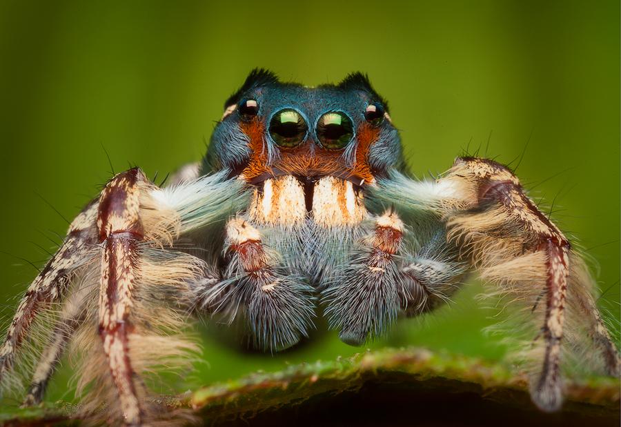 jumping spider, phiddipus putnami, salticidae, arachnid, spider, , photo