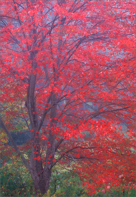 Pelham, Massachusetts, fog, red maple, autumn, photo