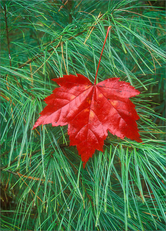 Red maple, leaf, photo