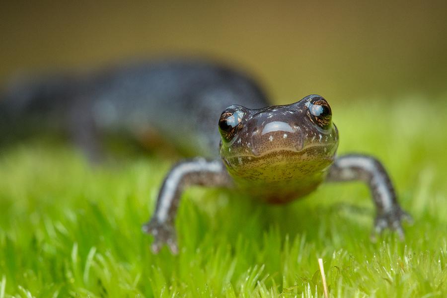 salamander, redback salamander, leadback, Massachusetts, Plethodon cinereus, patrick zephyr,