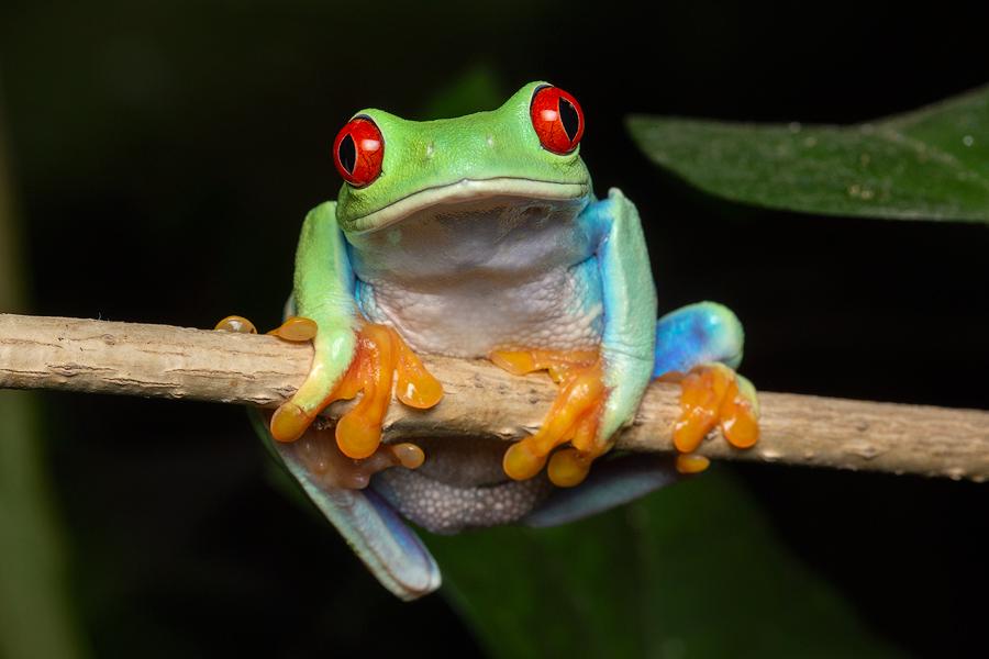 Red-eyed treefrog,Agalychnis callidryas, treefrog, frog, amphibian, Patrick Zephyr, photo