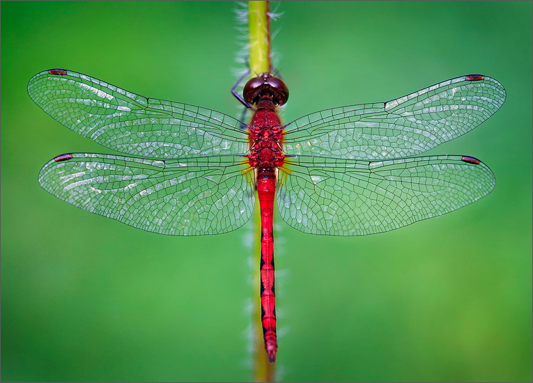 insect, , dragonfly, ruby meadowhawk, photo