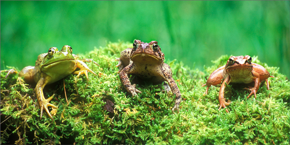 Amphibians, frogs, moss, toad