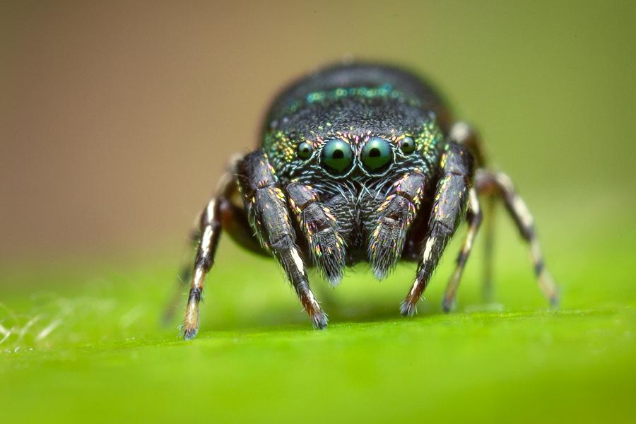jumping spider, salticidae, Patrick Zephyr, Massachusetts,Sassacus cyaneus