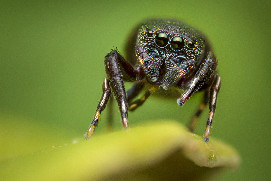 sassacus cyaneus, salticidae, jumping spider