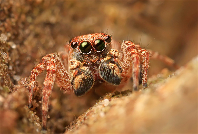 spider, jumping spider, arachnida, salticidae, insect, sitticus, photo