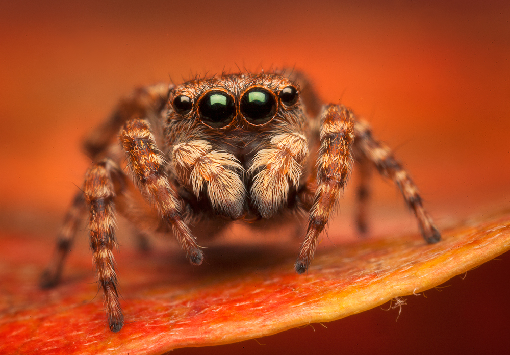 jumping spider, spider, salticidae, arachnids, sitticus, patrick zephyr, Massachusetts, red, Fasciger, , photo