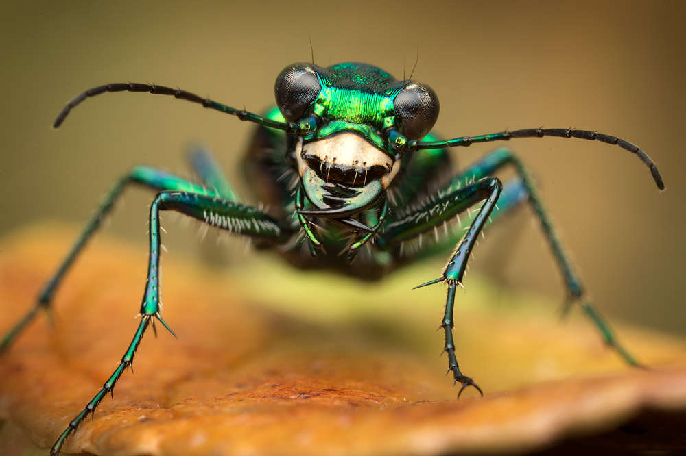 Cicindela sexguttata, tiger beetle., six-spotted tiger beetle, insect, beetle, green, metallic,, photo