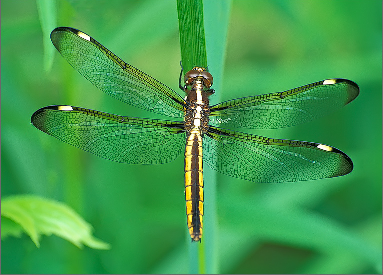 insect, , dragonfly, spangled skimmer, photo