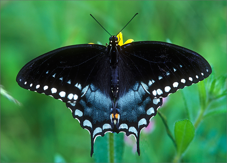insect, butterfly, spicebush butterfly, photo