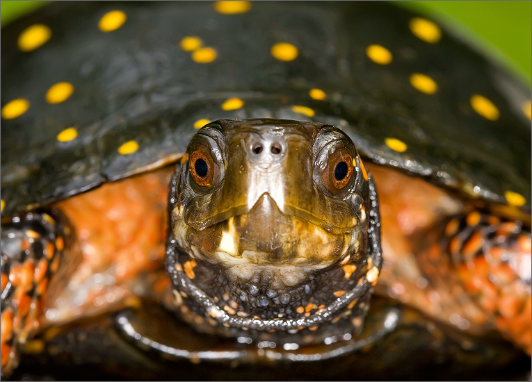 turtle, Clemmys guttata, spotted turtle , photo