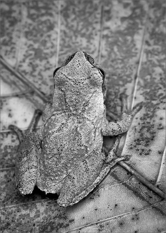 Spring peeper, hyla crucifer,  tree frog, frog, amphibian